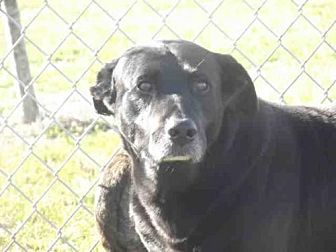 Labrador Retriever Dog for adoption in Rogers, Arkansas - GOODWIN