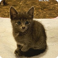 Adopt A Pet :: Blue - Speedway, IN