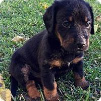 Dachshund Mix Puppy for adoption in Wichita Falls, Texas - Cody
