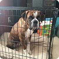 Adopt A Pet :: Tigerella - Austin, TX