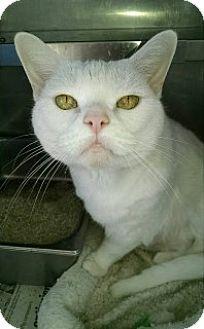 Domestic Mediumhair Cat for adoption in Saginaw, Michigan - Babette