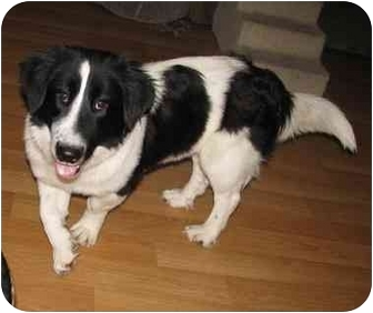 Maddie | Adopted Dog | Conesus, NY | Border Collie/Basset ...