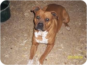 Boxer/American Staffordshire Terrier Mix Dog for adoption in Farmingtoon, Missouri - Apollo