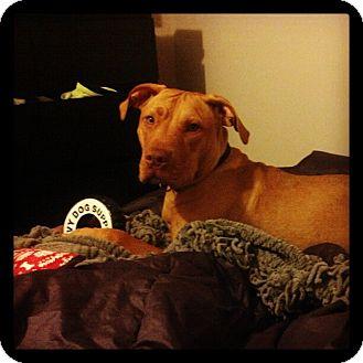 Labrador Retriever/American Pit Bull Terrier Mix Dog for adoption in Yuba City, California - Simba
