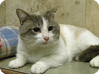 Domestic Shorthair Cat for adoption in Bartlett, Illinois - Mr Blu