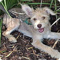 Adopt A Pet :: Bugsy - Mission Viejo, CA