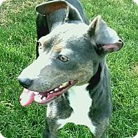 Adopt A Pet :: Pippy - Norwalk, CT