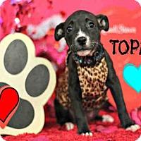 Adopt A Pet :: *TOPAZ - Sugar Land, TX