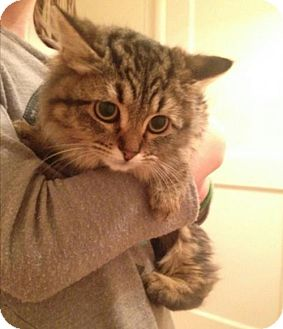 Domestic Longhair Cat for adoption in Fresno, California - Natasha 2