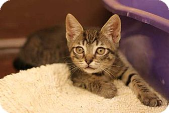 Domestic Shorthair Cat for adoption in Mebane, North Carolina - Virginia Woolf