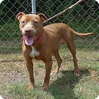 American Bulldog/American Staffordshire Terrier Mix Dog for adoption in Montgomery, Pennsylvania - Maxwell