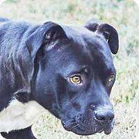 Adopt A Pet :: Mr. Peabody - Lincolnton, NC