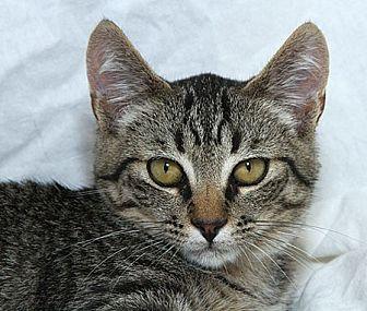 Domestic Shorthair Kitten for adoption in Sacramento, California - Steve L
