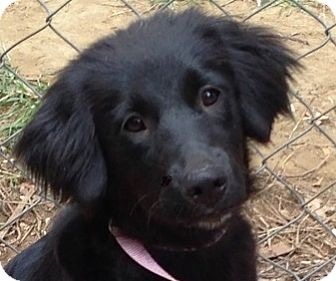 Spaniel (Unknown Type)/Great Pyrenees Mix Dog for adoption in Plainfield, Connecticut - Annabelle