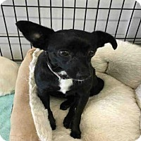 Adopt A Pet :: MIDNIGHT - Canfield, OH