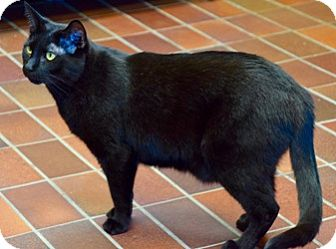 Domestic Shorthair Cat for adoption in Des Moines, Iowa - JJ
