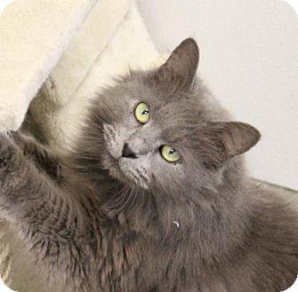 Domestic Longhair Cat for adoption in Greensboro, North Carolina - Captain Grimshanks