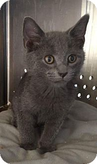Russian Blue Cat for adoption in Baltimore, Maryland - Mo