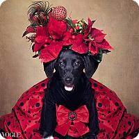Labrador Retriever/Hound (Unknown Type) Mix Puppy for adoption in El Dorado, Arkansas - Twinkle Toes
