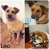 Adopt A Pet :: Leo - Kimberton, PA