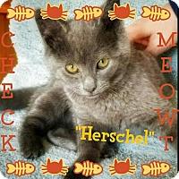 Adopt A Pet :: Herschel - Seaford, DE