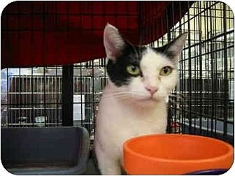 Domestic Shorthair Cat for adoption in Chino, California - Shelley