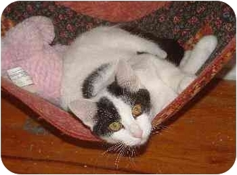 Domestic Shorthair Cat for adoption in Belton, Missouri - Lynette