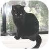 Domestic Shorthair Cat for adoption in Vancouver, British Columbia - Emmy