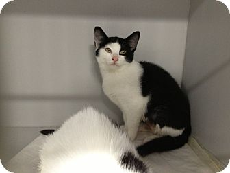 Domestic Shorthair Kitten for adoption in East Hanover, New Jersey - Lenore