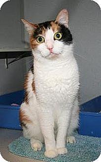 Domestic Shorthair Cat for adoption in Marietta, Georgia - Sasha