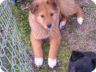 Shepherd (Unknown Type)/Collie Mix Puppy for adoption in Harrisburgh, Pennsylvania - Kanga