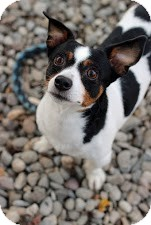 Rat Terrier Mix Dog for adoption in Tinton Falls, New Jersey - Jaxson