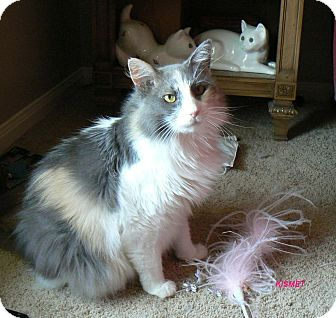 Maine Coon Cat for adoption in League City, Texas - KISMET