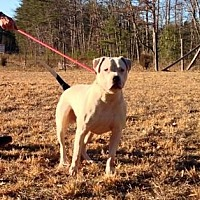 American Bulldog/American Pit Bull Terrier Mix Dog for adoption in Staunton, Virginia - Petey