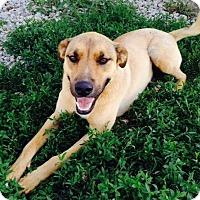 Adopt A Pet :: Harpo - Farmingtoon, MO