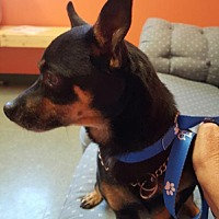 Chihuahua/Toy Fox Terrier Mix Dog for adoption in Lima, Ohio - PeeWee