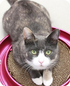 Domestic Shorthair Cat for adoption in New York, New York - Wally (Manhattan)