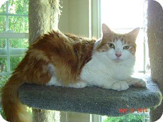Domestic Shorthair Cat for adoption in Walnut Creek, California - Harry