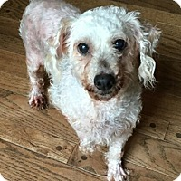 Adopt A Pet :: Cindy Lou - Fairview Heights, IL