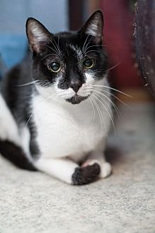 Domestic Shorthair Cat for adoption in Stafford, Virginia - Kingston