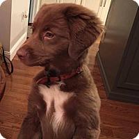Adopt A Pet :: Chocolate Truffles - Westminster, MD