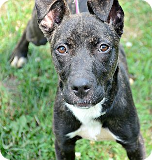 Pit Bull Terrier Mix Puppy for adoption in Port Jervis, New York - Sky