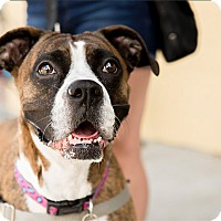 Boxer Mix Dog for adoption in Durham, North Carolina - Tequila