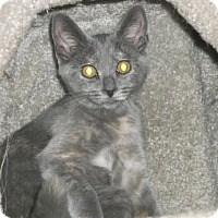 Domestic Shorthair Kitten for adoption in Farmington Hills, Michigan - Minnesota