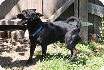 Chihuahua Mix Dog for adoption in Joplin, Missouri - Ziggy