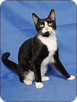 Domestic Shorthair Cat for adoption in Gloucester, Virginia - VIOLET