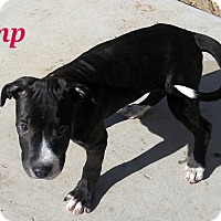 American Pit Bull Terrier Puppy for adoption in Victorville, California - Monster-Adopt me!