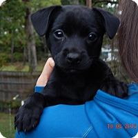 Adopt A Pet :: Shae (5 lb) Video! - Burlington, VT