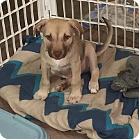 Adopt A Pet :: Beckham - Concord, CA