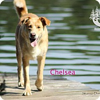 Adopt A Pet :: Chelsea - Good on leash! - Huntsville, ON